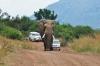 Elefant Amarula bahnt sich den Weg (Pilanesberg) Südfrika