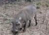 Warzenschwein (Warthog) Safari im Krueger Nationalpark
