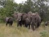Elefantenherd im Krueger Nationalpark