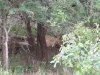 Löwenrudel bei Safari im Kruger Nationalpark