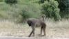 Baboon im Krugerpark