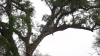 Leopard im Baum - Kruger Nationalpark