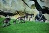 Zoo Valencia - Der Bioparc mit toller Artenvielfalt