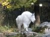 Schneeziege - Tierpark Hellabrunn - München Zoo