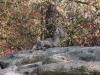 Alpensteinbock  - Tierpark Hellabrunn - München Zoo