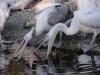 Pelikane - Tierpark Hellabrunn - München Zoo