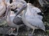 Pelikan - Tierpark Hellabrunn - München Zoo