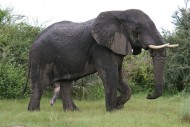 Elefant wirft Auto um – Amarula im Nationalpark Pilanesberg