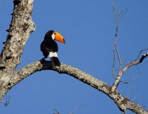 Toco Tucan nahe der Iguazu-Wasserfälle (Iguacu, Brasilien)