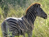 Südafrika Rundreise: Safari im Krüger Nationalpark